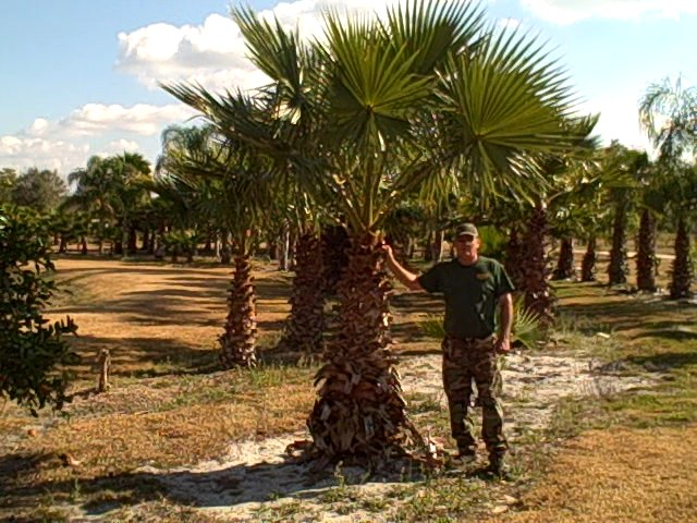 washingtonia palm at the farm
