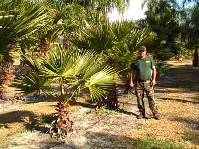 small washingtonia palm